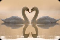 Swans In Love Background