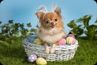 Little Dog Wearing Bunny Ears Background