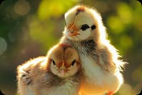 Two Cute Chickens Background