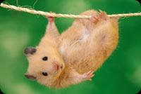 Cute Hamster Hanging Background