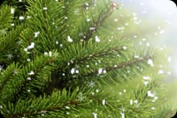 Green Christmas Tree Branches  Background