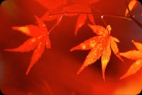 Red Autumn Background