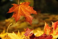 Falling Red Leaf - Happy Autumn Background