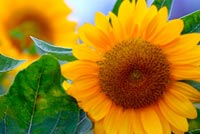 Happy Sun Flowers Background