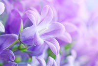 Purple Flower Theme Background