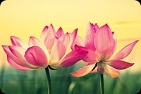 Amazing Lotus Flowers Theme Background