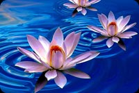 Flowers email backgrounds. Lotus Flower Art Painting