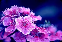 Purple Turkish Carnation Background