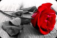 Beautiful Red Rose For You Background
