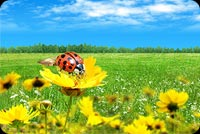 Ladybug, Flower & Blue Sky Background