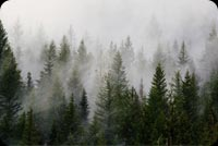 Green Pine Trees Covered By Fogs Background