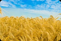 Nature email backgrounds. Wheat Field