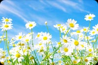 Spring email backgrounds. Spring Daisy