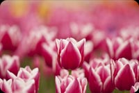 Spring Pink Tulips Background