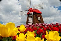 Spring email backgrounds. Tulips & Windmill
