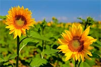 Summer email backgrounds. Summer Sunflowers