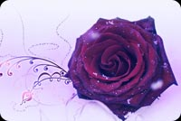 Wedding email backgrounds. A Special Rose