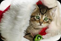 Cute Cat In Santa Hat Background